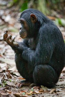 Thoughtful Chimp